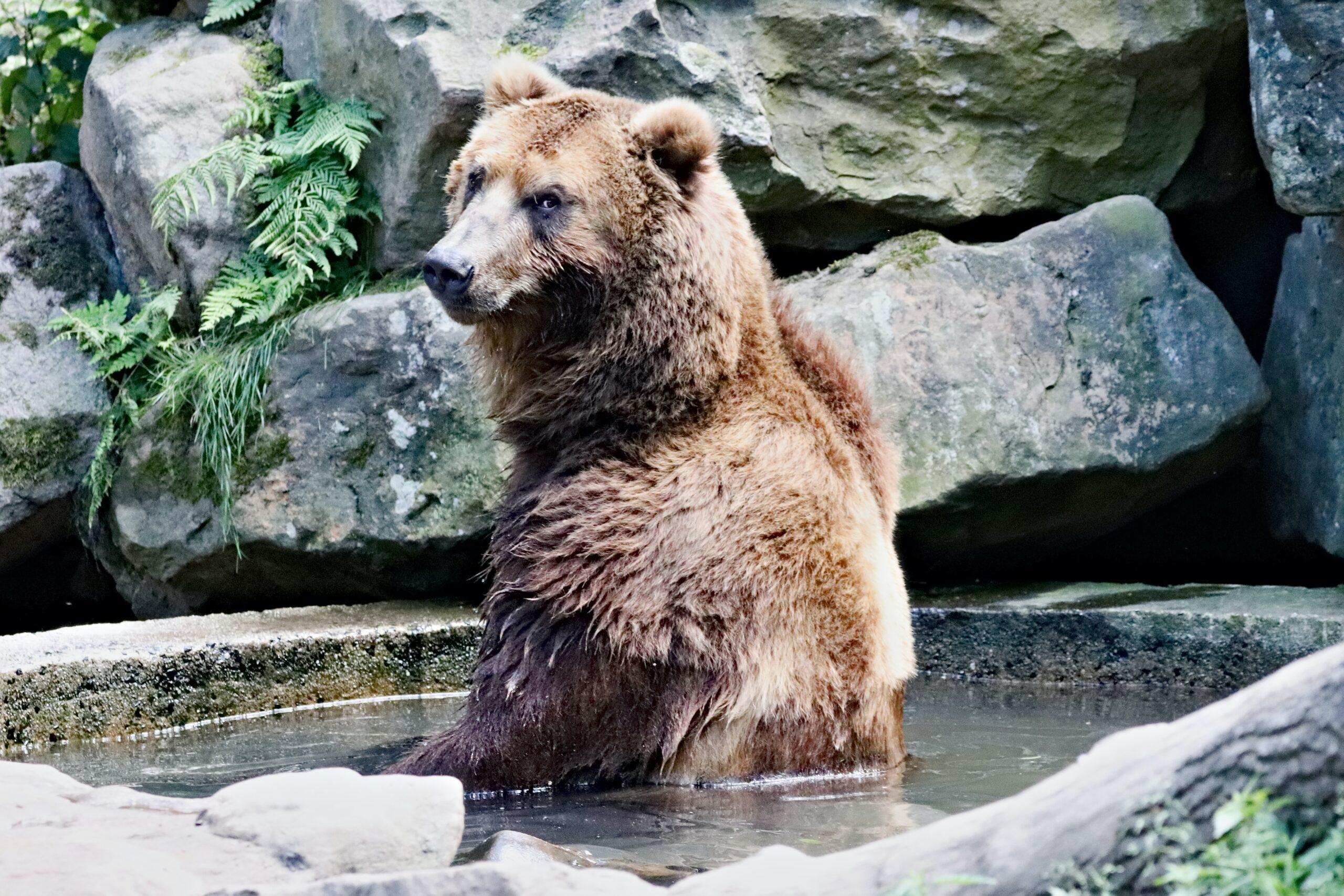W śląskim zoo niedźwiedzie wybudziły się z zimowego snu