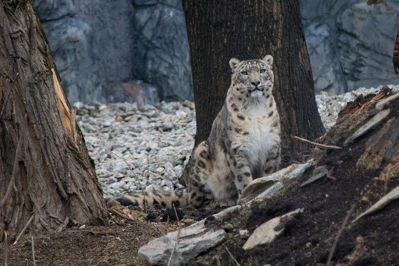 W chorzowskim zoo otwarty został nowy obiekt dla panter śnieżnych