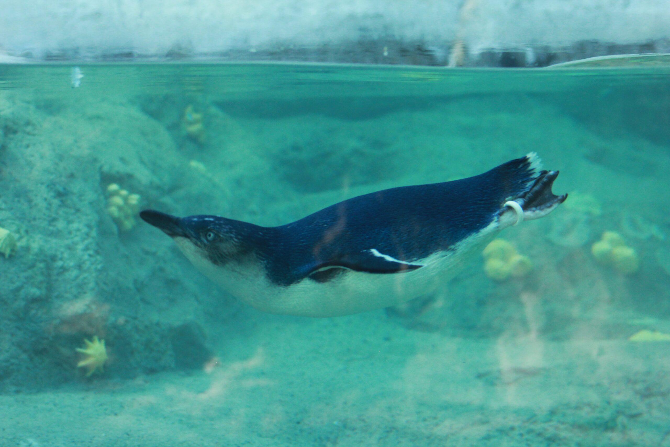 Wielki powrót Pingwinów w Śląskim ZOO w Chorzowie